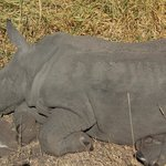Sleeping baby rhino