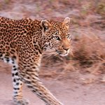 Roller Coaster female leopard