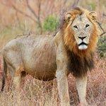 Hilda`s Rock male lion