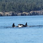 Spent an hour with 6 Orcas - wow