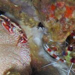 crabe porcelaine et crevette