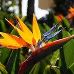 fleur estrelicia