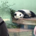 Tian tian having a nap