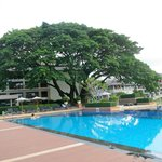 Beautiful giant tree by the pool