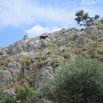 Такие вот козы гуляют по горам
