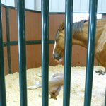 One of the mothers in her stall with her foal.