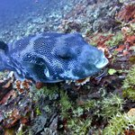 Giant Pufferfish at the dive site Secret Garden
