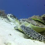 One of more than eight turtles at the dive site Secret Garden