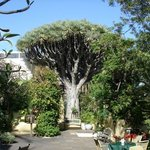 400 YEAR OLD DRAGON TREE-SITIO LITRE