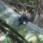 Sun bear chilled out