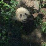 Panda Cub!