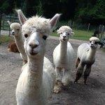 Jersey Shore Alpacas