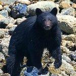 Black Bear in Fortune Channel near Tofino, British Columbia