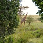 Giraffe looking at us from the patio