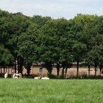pastoral setting with cows and fields