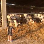 Look cows!