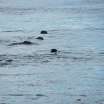 Group of harbor seals playing around the boat
