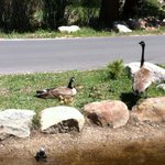 Geese with 5 little ones.
