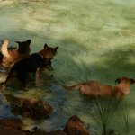 Local dogs cooling off in Havasu Creek