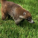 Coati. So cute!!!