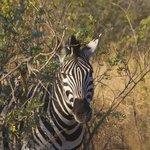 Zebra peekaboo
