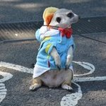 Cute meerkat having a stroll at Yoyogi park
