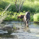 Mother & Baby Moose June 2014