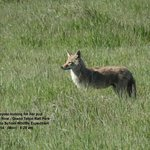 Mother Coyote June 2014