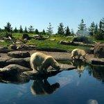 Polar bears in North America