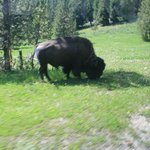 Bison by roadway. I asked and they stopped for better picture.