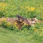 Marmotte sul Sassolungo