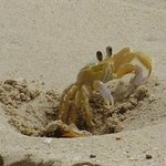 One of many small crabs on the beach