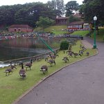 Geese & boating lake