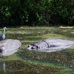 Hippos and Heron