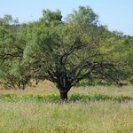 Mesquite tree on property.