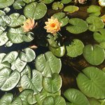 Lily lads and lotus' in the fountain out front