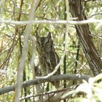 Horned Owl in the bushy trees at the Snake River picnic area