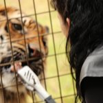 Tiger Feeding is optional purchase and an incredible experience