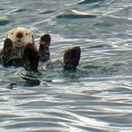 sea otter (we named this little guy Otto!)