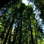 Armstrong Redwood Forest looking up