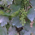 See how little the grapes are at the moment.