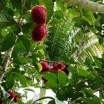 rambuton or lychee?