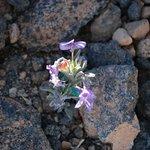 flor autoctona del parque nacional del Teide.