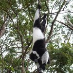 Reserva Vakona,lemur