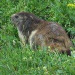 Marmotte de la Glière