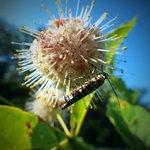 Button bush with Ailanthus webworm Moth