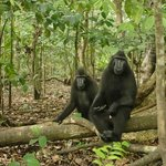Black macaques (interested)