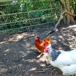 Well-tended chickens in the garden