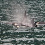 Killer whales spotted during the National Park tour.