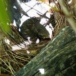 Merlo nel nido
